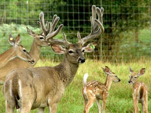 Buck, Doe & Fawns