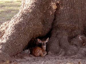 Fawn In Tree