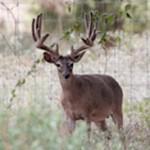 Heller Deer Farm Breeder Buck Previous 4