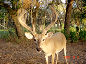Heller Deer Farm Breeder Buck Previous 5