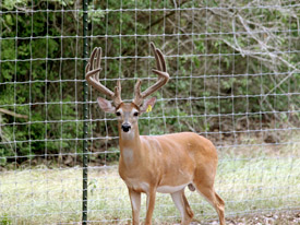Heller Deer Farm - Whitetail Bucks Sold