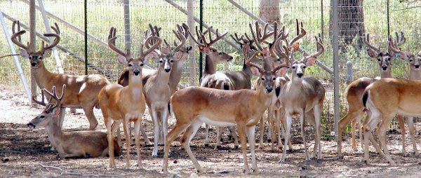 Heller Deer Farm - Breeder Bucks and Doe