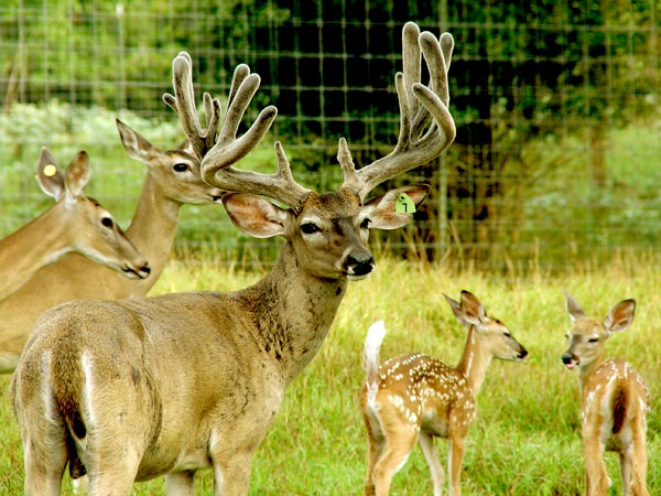 Heller Deer Farm - Breeder Buck - Radar
